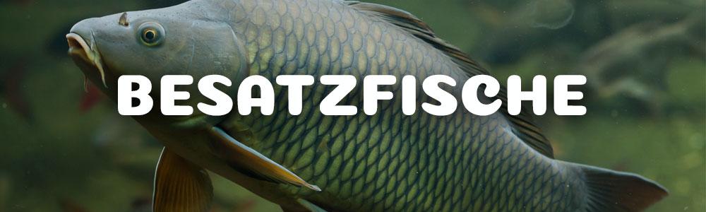 Altstädter Fischteich - Besatzfische